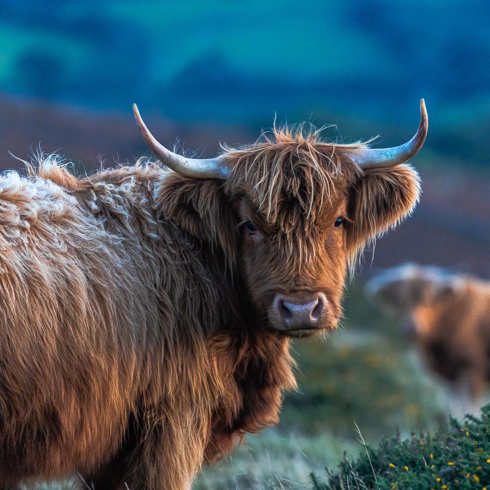 Highland Cow Dartmoor