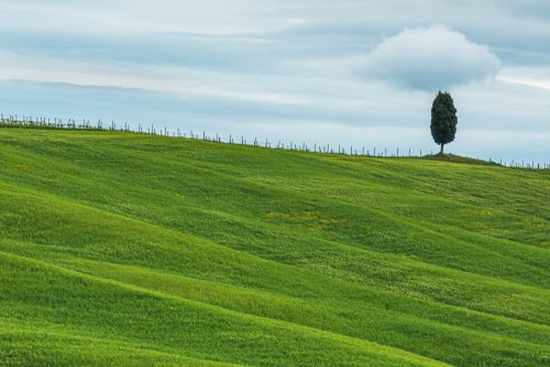 Tuscan Tree
