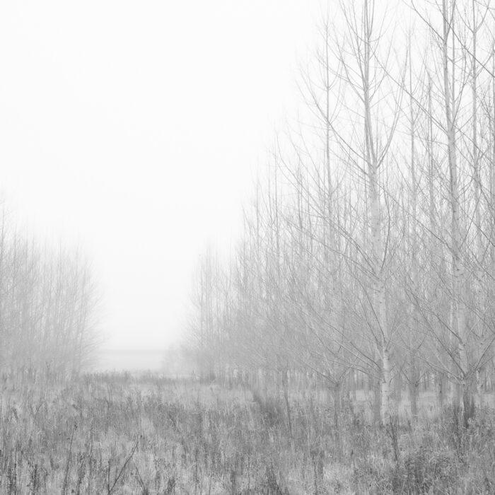 Silver Birch Trees In The Mist