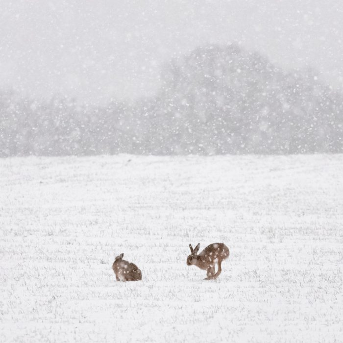 Hares In The Snow